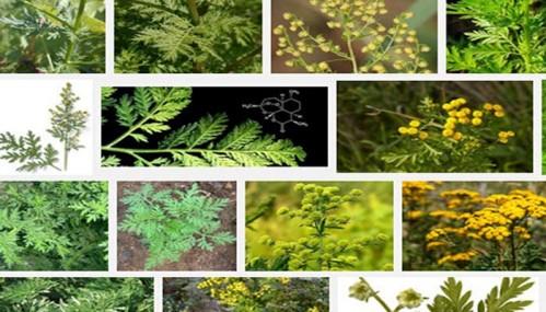 Artemisia_annua_28022016.jpg